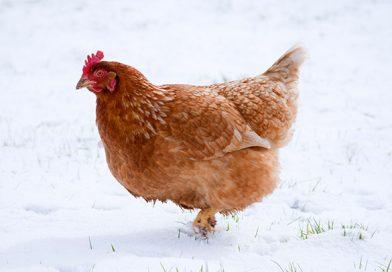 Informatīvais materiāls par putnu gripu