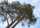 Sabiedriskā apspriešana par koku ciršanu Laucesas katoļu draudzes kapos